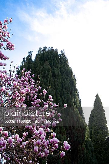 Magnolienblüten - p533m1169620 von Böhm Monika