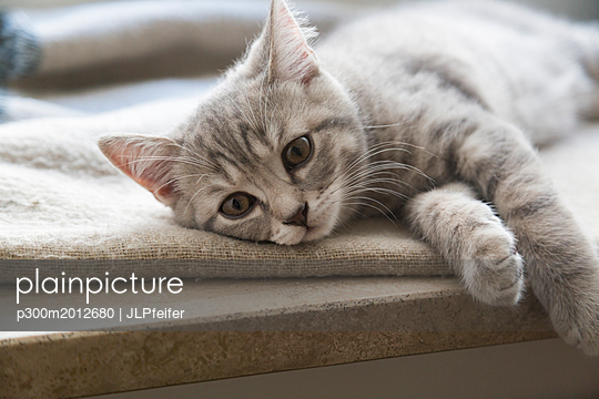 British shorthair kitten lying on window sill - p300m2012680 von JLPfeifer