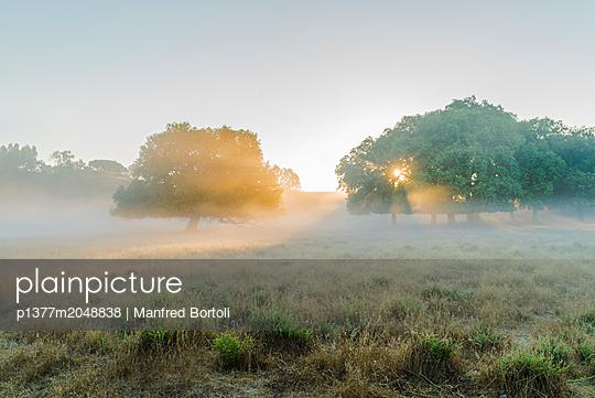 Sun rays in the fog and Oak trees at Sunrise - p1377m2048838 by Manfred Bortoli