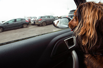Red dachshund dog waiting in a car looking out of window - p1047m2179266 by Sally Mundy