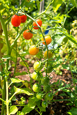 Organic tomatoes in allotment garden - p300m2062221 by Nabiha Dahhan