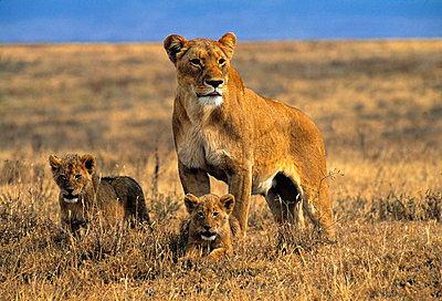 Lioness and cubs - p6510765 by Paul Joynson Hicks photography