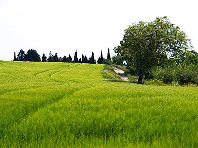 Green wheat field - p813m1039480 by B.Jaubert