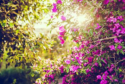 Lila Blüten - p904m1044995 von Stefanie Päffgen