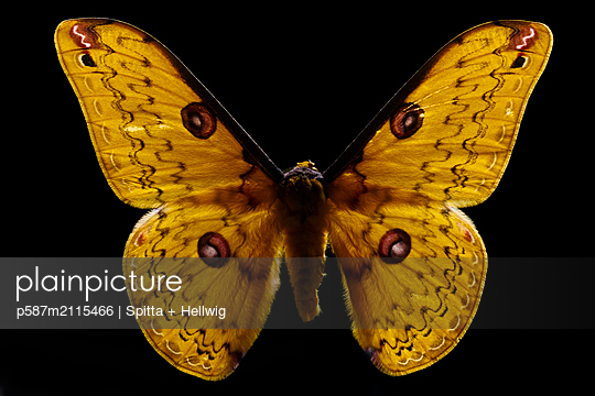 Brown spotted butterfly - p587m2115466 by Spitta + Hellwig