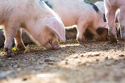 Schweine - p1057m1072060 von Stephen Shepherd
