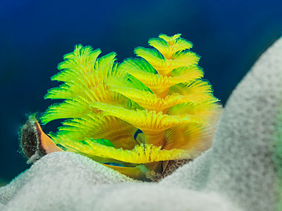 Christmas tree worm - p1544m2122139 by