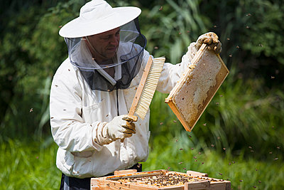 Beekeeper brushing bees from frame of hive at farm - p301m1070132f by Halfdark