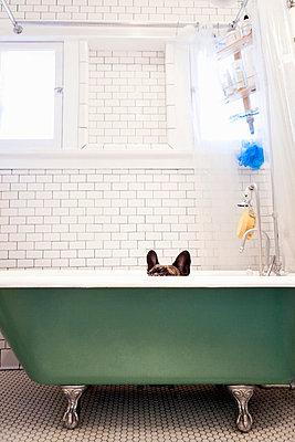 French bulldog sitting in bathtub - p429m768209 by Robyn Breen Shinn