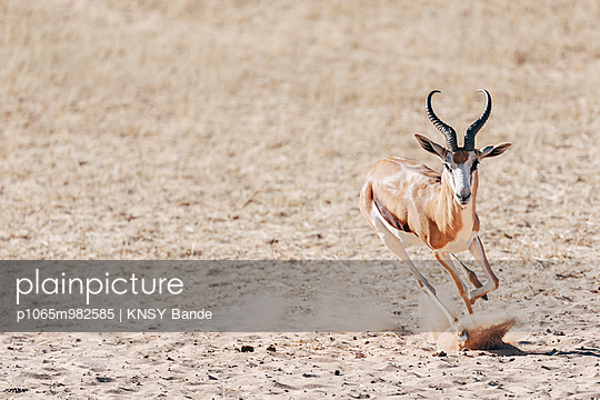 Laufender Springbock, Kalahari, Afrika - p1065m982585 von KNSY Bande