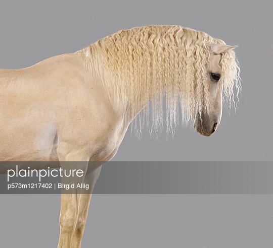 Pferdeportrait - p573m1217402 von Birgid Allig