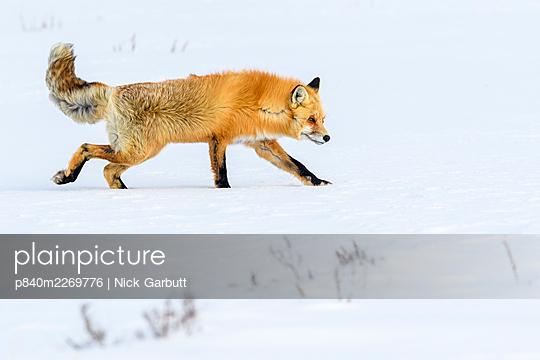 Red fox (Vulpes vulpes) walking through deep winter snow. Hayden Valley, Yellowstone, USA. January - p840m2269776 by Nick Garbutt