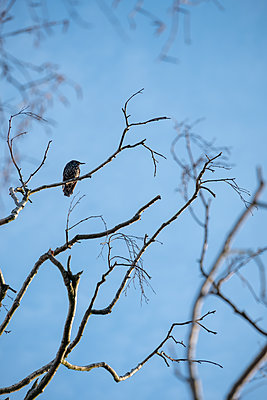 Single starling on a branch - p739m2007930 by Baertels