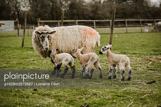 Newborn lambs with their sheep mums - p1628m2272587 by Lorraine Fitch