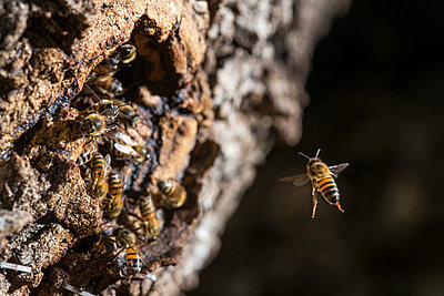 Close-up of honey bee flying towards swarm in tree trunk - p1166m1210691 by Cavan Images