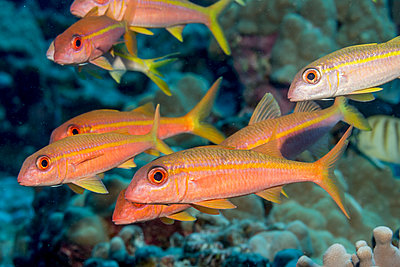 Yellowfin Goatfish (Mulloidichthys vanicolensis) schooled off the Kona coast; Kona, Island of Hawaii, Hawaii, United States of America - p442m1180016 by Thomas Kline