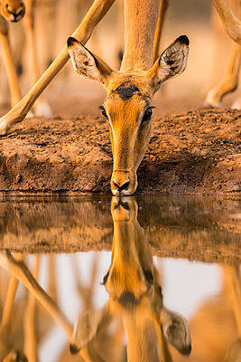Impala (Aepyceros melampus) drinking water with it's reflection showing in the surface of the pond, Mashatu Game Reserve; Botswana - p442m2091726 by Its About Light