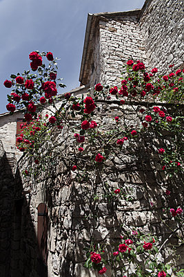 Rose bush on house wall - p046m1200689 by Hexx