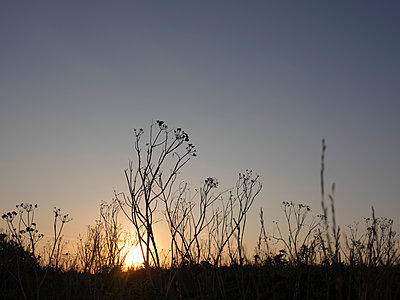 Vertrocknete Pflanzen im Sonnenuntergang - p1383m2026474 von Wolfgang Steiner