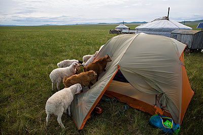 As the expedition team slept inside their tent camped outside a traditional Ger, a small herd of young goats and sheep inspect the tent on The Steppe in northern Mongolia. - p1424m1500437 by Krystle Wright
