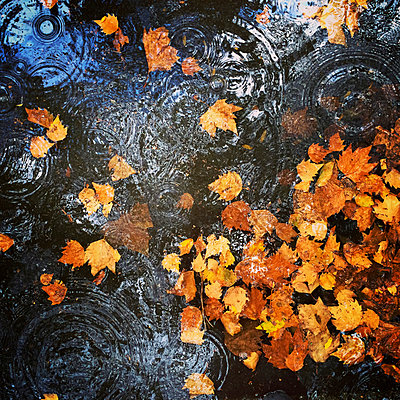 Puddle on pavement with autumn leaves - p300m1009079f by Gaby Wojciech