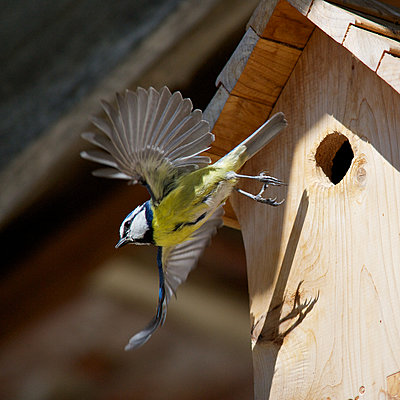 Blue tit (Cyanistes caeruleus) flying away from wooden birdhouse - p624m1487356 by Odilon Dimier