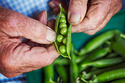 A man opening a peapod to see the fresh peas growing inside it  - p1100m1178027 by Mint Images
