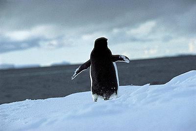Pinguin - p1205m1031655 von Chris Sattlberger