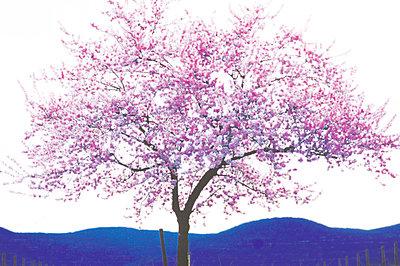 Blooming Almond Tree - p2681550 by Rudi Sebastian