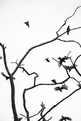 Starlings on a tree - p739m1467974 by Baertels