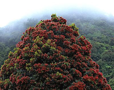 New Zealand Christmas Tree - p1016m792591 von Jochen Knobloch