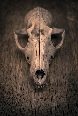 Fox skull - p1228m1123759 by Benjamin Harte