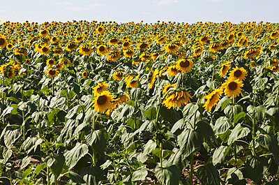 A field of cultivated sunflowers - p30120322f by Sean Russell