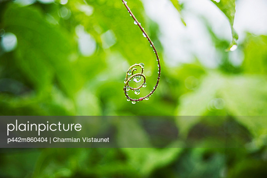 Hawaii, Oahu, Water Droplets On Curly Lilikoi Vine Tendril. - p442m860404 by Charmian Vistaunet photography