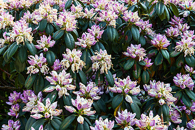 rhododendron - p1043m2278276 by Ralf Grossek