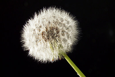 blowball Taraxacum officinale - p3000241f by Dieter Heinemann