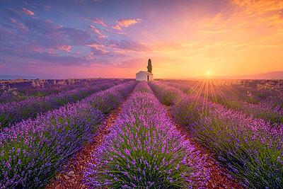 France, Alpes-de-Haute-Provence, Valensole, lavender field at twilight - p300m2023950 by Raul Podadera Sanz
