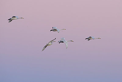 Germany, Schleswig-Holstein, Whooper swans, Cygnus Cygnus, at sunset - p300m929907f by Hans Clausen