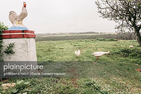 Hahn und Gans laufen frei herum - p1085m1476601 von David Carreno Hansen