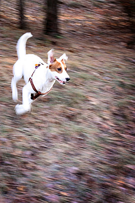 Running dog - p258m956534 by Katarzyna Sonnewend