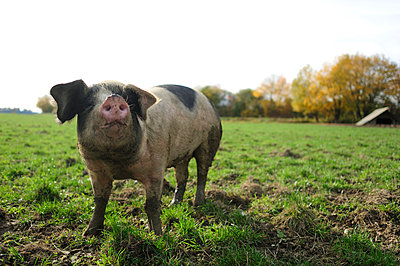Pig standing on meadow - p300m2154729 by Eyecatcher.pro
