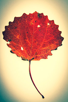 One leaf in studio - p813m1016170 by B.Jaubert