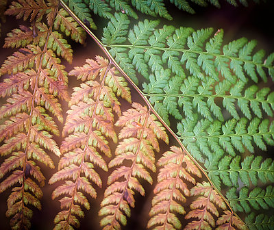 Fading fern leaves - p816m1032265 by Jensen, Kai
