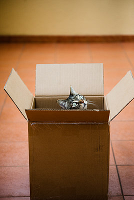 Spain, Tabby cat peeking out of cardboard box - p300m2170868 by Ramon Espelt