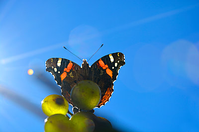 red admiral and grapes - p876m2073381 by ganguin