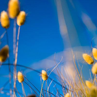 Neuseeland, Samtgras (Hare's tail grass) - p1201m1050061 von Paul Abbitt