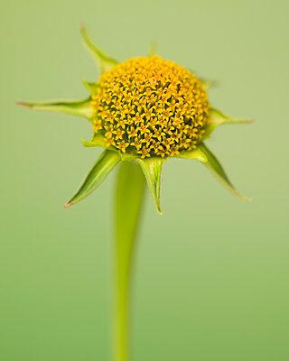 Mexican Sunflower, Tithonia rotundifolia, No Petals against Green Background - p694m2068549 by Lori Adams