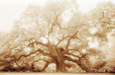 Mystical Angel Oak Tree - p694m872838 by Mary Anne Mitchell