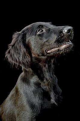 A black dog portrait on black background - p1057m2020704 by Stephen Shepherd