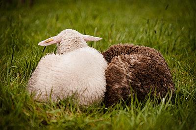 Sheep farming - p1273m1110968 by Melanka Helms